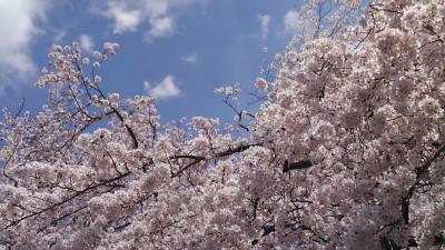葬儀葬祭業経営コンサルタント中西正人(桜景色と警備員さん)